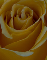 Don's Yellow Rose