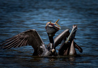 0049 90 Pair of Brown Pelicans Sharing a Fish