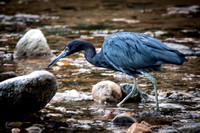 0133 90 Little Blue Heron