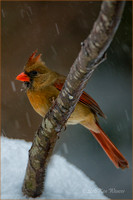 Female Cardinal Looking Left