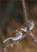 Pair of Sparrows Snow Portrait