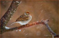 Whited Throated Sparrow Snow