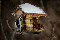 Carolina Wren and Downy Woodpecker