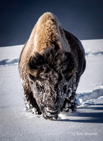 Snowy Face Bison