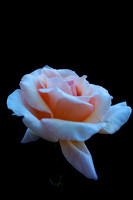 White Rose with Pink Hue