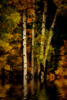 Birch Trees in October