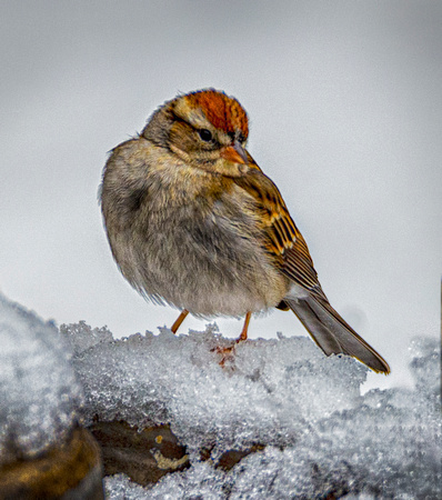 Chipping Sparrow Jan Snowstorm