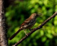 Brown Thrasher Open Mouth