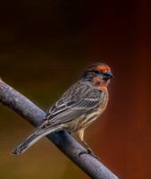 January House Finch