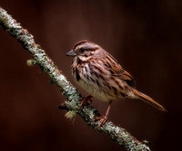 March Song Sparrow