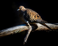 Mourning Dove January