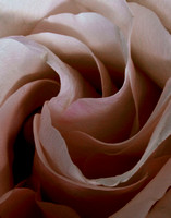 Heart of a Chocolate Rose