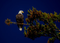 Another View of Bass Island Bald Eagle