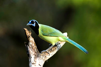 0471 Green Jay on Branch