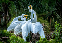 Trio of Great Egrets