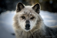 0079 600 Look Me in the Eye White Wolf