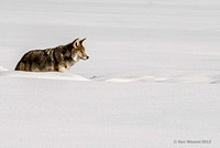 0090 600 Coyote in Snow Drift
