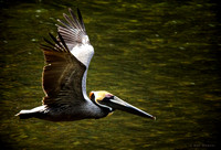 0078 Brown Pelican in Flight