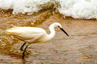 0350 Snowy Egret in the Surf