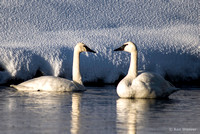 0012 600 Trumpter Swans Face to Face