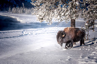 0022 90 Bison Trudging Through Snow Along the River