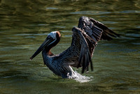 0020 90 Brown Pelican Preparing for Takeoff