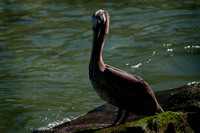 0028 90 Brown Pelican on Rock in Rio Los Horcones