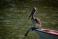 0040 Brown Pelican on Bow of Boat