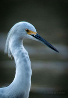 0167 90 Snowy Egret Head Shot