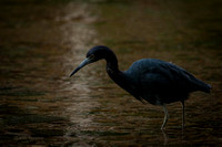 0175 90 Little Blue Heron on the Hunt
