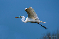 Great Egret over High Island