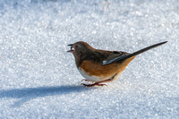 Eastern Towhee Seed in Beak