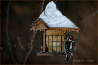 Downy Woodpecker on Feeder Snow