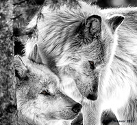 0209 90 Two Wolves with Gold Eyes BW