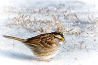 White Throated Sparrow on Snow