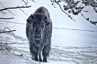 0064 Lone Bison