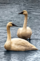 0119 Trumpeter Swans