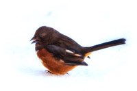 Eastern Towhee Male in Snow