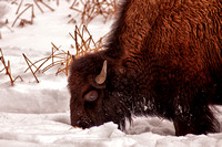 Young Bison Foraging in Snow