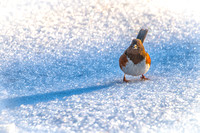 Eastern Towhee on Snow