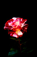 Variegated Red and White Rose