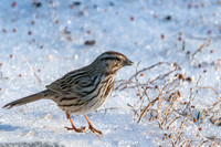Song Sparrow on Ice