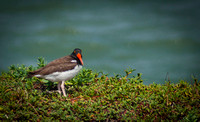 1581 American Oyster Catcher