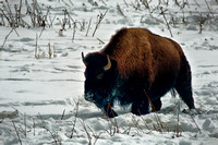 0198 Bison in Snow Field