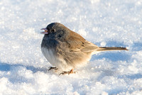 Dark Eyed Junco on Snow