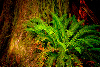 0067 Fern at Base of Cedar