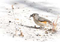 Tufted Titmouse on Ground