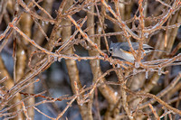 Tufted Titmouse on Icy Branches