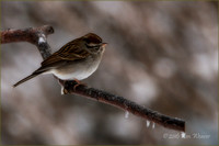 Chipping Sparrow on Icy Branch